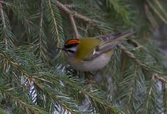 Firecrest (Rugulus ignicapillus) (macronyx) Tags: bird nature birds wildlife birding aves regulus birdwatching vogel oiseaux fåglar regulusignicapillus firecrest brandkronadkungsfågel