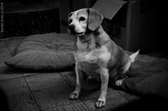 Prestando atencion (Daniel Alves - Fotografía) Tags: beagle 35mm uruguay nikon bn colonia 35 d5100