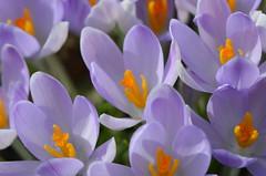 Versammlung (deta k) Tags: flowers macro berlin germany deutschland spring flora natur pflanzen blumen frhling blten krokusse sooc botanischergartenberlin nikond5100