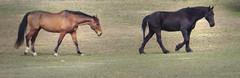 IMG_3723 (Rawrosaur) Tags: horses horse animals equine friesian friesians