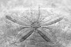 Sand Dollar Details (RobbART878) Tags: ocean bw white black macro texture beach nature water pool beautiful beauty vancouver contrast grit island prime coast living sand nikon pattern bc natural bokeh britishcolumbia small perspective shoreline creative overcast naturallight center nanaimo line sharp textures crispy growth crisp shore tiny dollar sanddollar symetry alive lowtide shape creature westcoast tidal crunch symetrical tidalpool macrolens naturesfinest girtty naturewatcher nikond5100