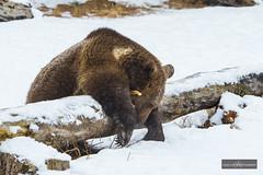 The Sleeping Teddy (D1402230967f-WM) (Louis Curtis) Tags: bear snow tree slr animal digital mammal log nikon montana unitedstates wildlife vegetation trunk northamerica dslr captive kalispell singlelensreflex grizzlybear 2014 nikond800 nikon70200mmf28lens tripledgameranch