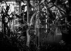 L1009363 (zzkt) Tags: blackandwhite plants monochrome au adelaide botanicgardens greyscale f17 iso160 leicasummiluxm35mmf14asph leicam9 ¹⁄₁₀₀₀sec ¹⁄₁₀₀₀secatf17 foamfoamtones