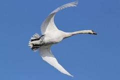 Mute Swan (themadbirdlady) Tags: muteswan cygnusolor anatidae stirlinguniversity anserini vision:mountain=0564 vision:outdoor=099 vision:sky=0853 vision:clouds=0682