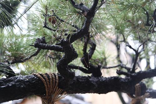 濡れる松の枝