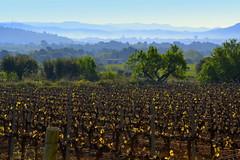 Vinyes de Primavera, Sant Mart Sarroca. (Angela Llop) Tags: landscape spain eu catalonia vineyards penedes viedos vinyes santmartsarroca