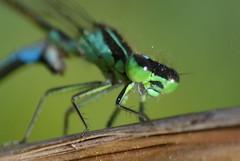 Caballito del diablo - cpula (close up) (Hachimaki123) Tags: animal insect damselfly insecto cpula odonata copula caballitodeldiablo odonato ischnuragraellsii