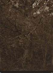 2014.05.03 (dipositif) Tags: camera trees tree sepia analog paper oak unique large basel format positive rapid largeformat alternativeprocess no3 quercusrobur 13x18 photopaper fkd directpositive aplanat uniqum paperpositive reversalprocess esuter na2s uniquepositive