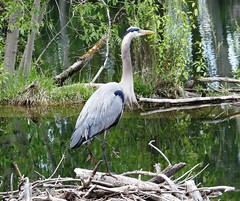 Proud heron (EcoSnake) Tags: water birds spring wildlife april greatblueheron herons naturecenter ardeaherodias gbh idahofishandgame