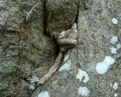 Tree Roots (IMG_5417b) (Dennis Candy) Tags: nature beauty rock natural crack srilanka root hernia bulge