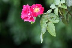 ImageJPEG_0143 (Elizer Bueno - Fotgrafo) Tags: flores flower flor carmelia