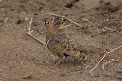 Black-faced Sandgrouse (AF74) (naturelover2007) Tags: africa male nature tanzania wildlife endemic tarangirenationalpark sandgrouse blackfacedsandgrouse pteroclesdecoratus naturelover2007 pteroclesdecorates