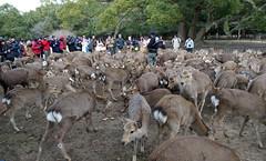 Deer in Nara Park (Hisa-nori) Tags: animal japan deer nara