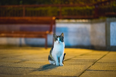 (Tridentz | ) Tags: street hk night cat hongkong sony voigtlander meow neko alpha f18 a7  vm 75mm