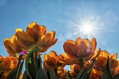 Have a sunny day (Gies!) Tags: orange sun netherlands dutch tulips tulpen