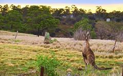 """and Your point is!"" (maginoz1) Tags: autumn sky canon landscape bush australia melbourne victoria kangaroo gumtree bulla redsoil g3x naturevnurture may2016"