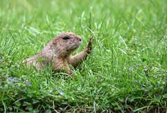 Stop! (MTSOfan) Tags: hello rodent hand stop hi prairiedog director directing greeting salutation blacktailedprairiedog