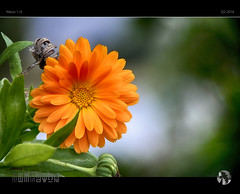 Something Old Something New (tomraven) Tags: autumn light orange flower macro green glow bokeh fresh j5 flowermacro nikon1 tomraven aravenimage q22016