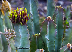 Heads (haidarism (Ahmed Alhaidari)) Tags: plant flower macro green nature bokeh outdoor ngc depthoffield heads bud macrophotography greatphotographers yellowcactus sonya65