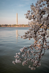 Promenade au Tidal Basin (Seb & Jen) Tags: usa flower fleur cherry washington districtofcolumbia unitedstates blossom basin obelisk tidal cerisier obelisque tatsunis