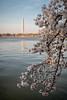 Promenade au Tidal Basin (Seb & Jen) Tags: usa flower fleur cherry washington districtofcolumbia unitedstates blossom basin obelisk tidal cerisier obelisque étatsunis