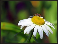 IMG_2878 On Top of Daisy 5-25-16 (arkansas traveler) Tags: flowers nature wasp zoom bokeh insects bugs telephoto daisy bichos bokehlicious naturewatcher