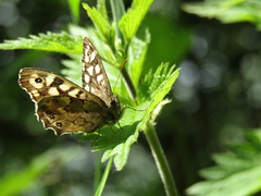 Speckled Wood Butterfly (stevencarruthers93) Tags: greenheart