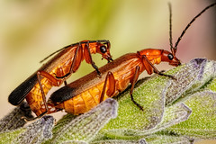Mating Beetles (Dalantech) Tags: macro insect beetle lavender mating topaz macrophotography topazlabs
