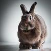Chewing Bunny (Jeric Santiago) Tags: pet rabbit bunny animal eating conejo basil chewing lapin hase kaninchen うさぎ 兎 winterrabbit