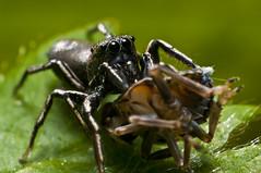 Heliophanus cupreus (jamesdunbar42) Tags: england macro nature animal animals death spider spring nikon wildlife hunting prey predator jumpingspider invertebrate arthropod reverselens salticidae d300s