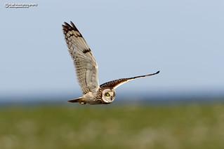 Short-eared Owl, Asio flammeus.