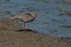 Redshank (Andrew_Leggett) Tags: sunlight lake bird nature water shore breeze tringatotanus margin redshank wader rspboldmoor andrewleggett