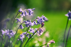 Bluebell Bokeh (w.mekwi photography) Tags: green bluebells spring dof bokeh hbw nikond800 wmekwiphotography