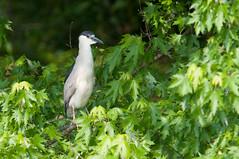 Black-crowned Night-Heron (chlorophonia) Tags: birds animals us unitedstates maryland silverspring animalia herons ardeidae blackcrownednightheron vertebrates nycticoraxnycticorax egretsandbitterns