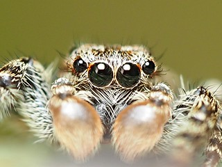 the eye(s) of the spider......Rindenspringspinne (Marpissa muscosa) ♂