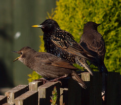 2016_05_0863 (petermit2) Tags: starling rotherham southyorkshire yorkshire