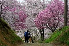 Cameraman with Cherry tree (tez-guitar) Tags: trees flower tree castle cherry spring pentax blossoms petal cherryblossom sakura tamron pentaxart