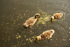 Goslings (sflangridge) Tags: bird regentscanal goslings aphotoaday