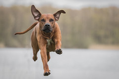 flying rhodesian ridgeback (Bea Antoni) Tags: dog pet canon wow outdoors flying action explore hund freeze brilliant rhodesianridgeback haustier zoomlens explored inexplore canonef70200mmf4lisusm canoneos7dmarkii