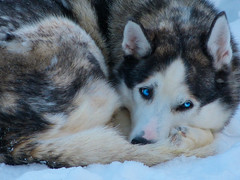 Husky - Explore the North 2013 (gabri_micha) Tags: huskie kangos explorethenorth srkimukka