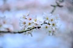 (DSC_2174) (nans0410(busy)) Tags: pink macro japan cherry kyoto blossom   sakura kansai  fushimi   daigoji   kinkiarea