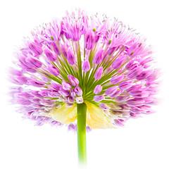 Pink (photalena) Tags: pink flower garden flora allium sliderssunday 7dwf