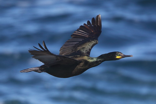 Common shag