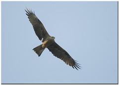 NIBBIO BRUNO - Milvus migrans (ric.artur) Tags: nature nikon natura ali animali nibbio naturalmente