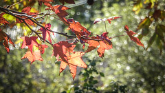 Red Plane Leaves (Theen ...) Tags: adelaide background bokeh evergree foliage leaves lumix plane red sparkling street suburban theen tree winter