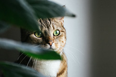 Jungle cat ;) (thoma.melanie) Tags: light cats plant window face cat fur eyes kat feline chat availablelight fenster kitty fluffy depthoffield gato purr felino katze  katzen available  ktzchen kaddy   katzi