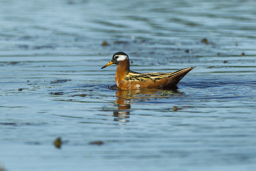 Red Phalarope - Vercellese - Italy_S4E2337