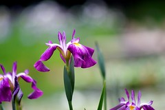 () /Iris ensata (nobuflickr) Tags: flower nature japan kyoto    irisensata heianjingushrine japanesewateriris awesomeblossoms   20160604dsc01549