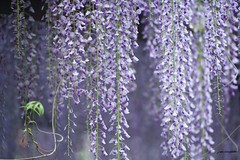 Canopy of Wisteria (j van cise photos) Tags: flowers plant nature toxic beauty garden purple outdoor vine fragrant fabaceae canopy dripping wisteria wysteria wistaria peafamily fabales millettieae faboideae twiningstems woodyclimbingvine