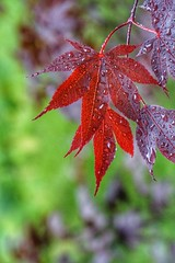 Rain, red leaves (JPShen) Tags: red green leaves rain leaf bokeh background raindrops
